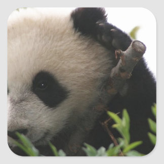 Su Lin, giant panda bear cub at the San Diego Zoo Square Sticker