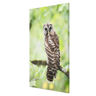 Sub-adult recently having left the nest canvas print
