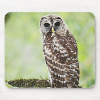 Sub-adult recently having left the nest mouse pad