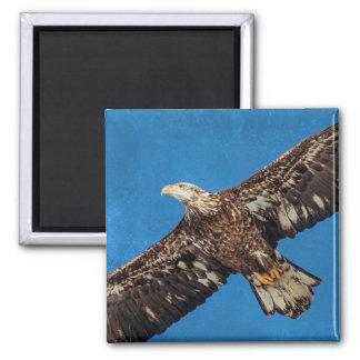 Subadult Bald Eagle in flight Magnet