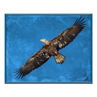 Subadult Bald Eagle in flight Photo Print