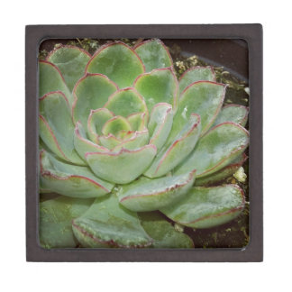 Succulent, Hen and Chicks Gift Box