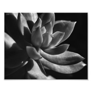 Succulent in Afternoon Sunlight - B&W Photograph