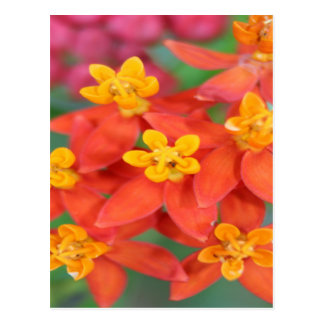 Succulent Red and Yellow Flower Echeveria Postcard