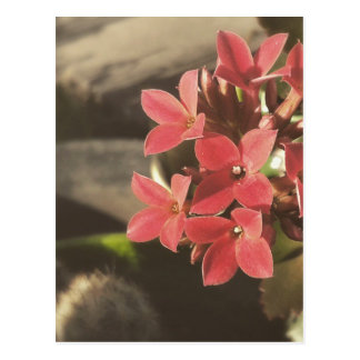 Succulents florecientes en mi jardín tarjetas postales