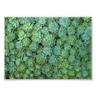 Succulents - planta de Echeveria Impresiones Fotograficas