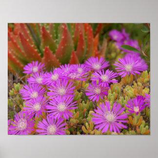 Succulents y púrpuras del jardín de flores póster