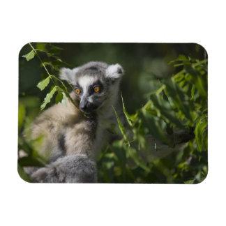 Suene el lemur atado (catta) del Lemur, Madagascar Imanes Flexibles
