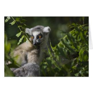 Suene el lemur atado (catta) del Lemur, Madagascar Tarjeta De Felicitación