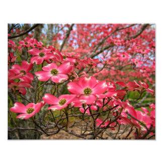 ¡Sueño con las floraciones rosadas del Dogwood en  Fotografías