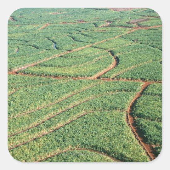 Sugar Cane Field Square Sticker