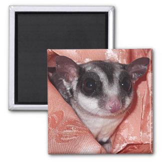 Sugar Glider Close-Up in Pink Silk Magnet