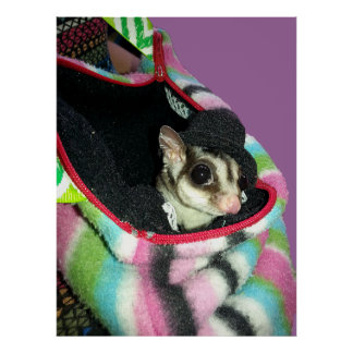 Sugar Glider Wearing a Hat Posters