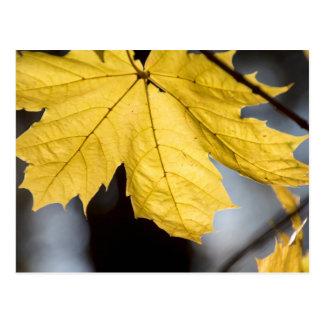 Sugar maple, fall postcard