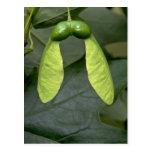 Sugar maple tree fruit (acer saccharum) postcard