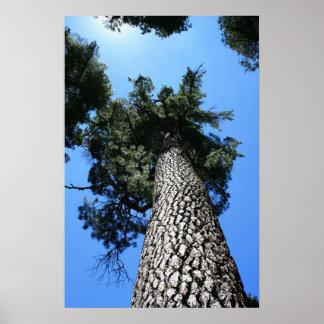 Sugar Pine Tree, Blue Sky Poster