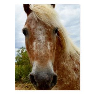 Sugar The Appaloosa Horse,_ Postcard