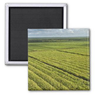 Sugarcane Plantations, Guyana 2 Inch Square Magnet