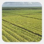 Sugarcane Plantations, Guyana Square Sticker