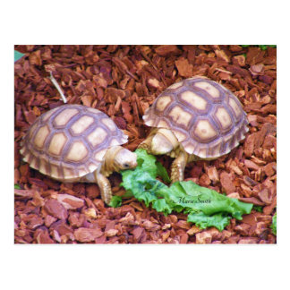 Sulcata Tortoise Hatchlings Postcard