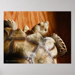 Sulcata Tortoise Print print