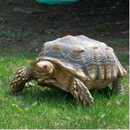 Sulcata Tortoises Statuette