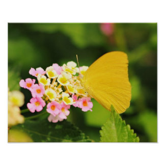 Sulfur Butterfly On Lantana Poster
