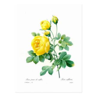 Sulfurea de Rosa Tarjetas Postales