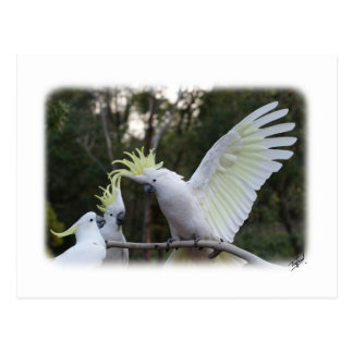 Sulphur Crested Cockatoo 9Y319D-079 Post Card