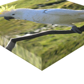 Sulphur-Crested Cockatoo in Australia Canvas Print