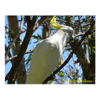 Sulphur Crested Cockatoo Postcards