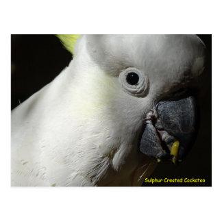 Sulphur Crested Cockatoo Post Card