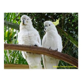 Sulphur Crested Cockatoos Post Card