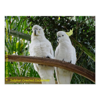 Sulphur Crested Cockatoos Poster