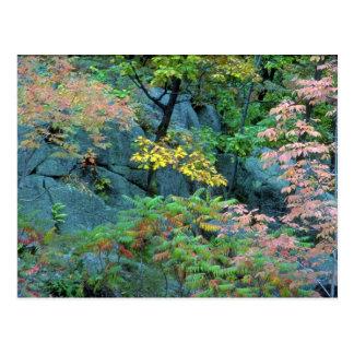 Sumac del roble rojo, de la haya y del staghorn, p tarjetas postales