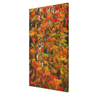 Sumac tree in autumn color in Whitefish, Canvas Print