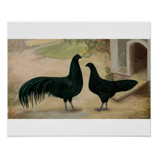 Sumatra Rooster and Hen Poster