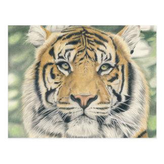Sumatra tiger - coloured pencil design postcard