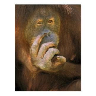 Sumatran Orangutan, or pongo pygmaeus abelii. Postcard