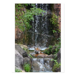 Sumatran tiger bathing in stream postcard