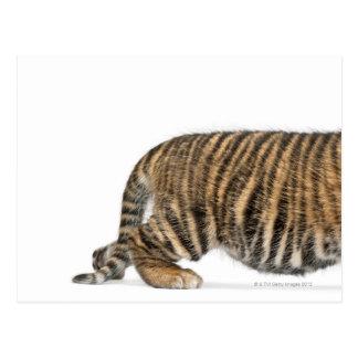 Sumatran Tiger cub 2 Postcard