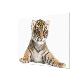 Sumatran Tiger cub - Panthera tigris sumatrae (3 Canvas Print
