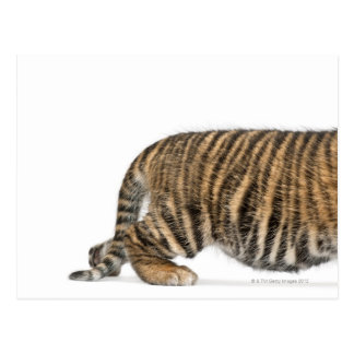 Sumatran Tiger cub - Panthera tigris sumatrae (3 Postcard