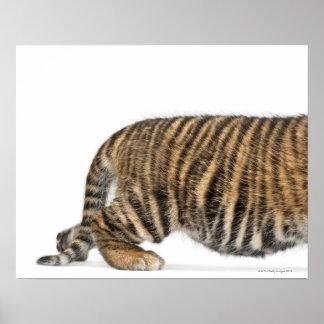 Sumatran Tiger cub - Panthera tigris sumatrae (3 Poster