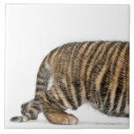 Sumatran Tiger cub - Panthera tigris sumatrae (3 Tiles