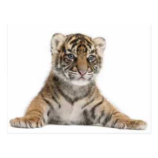 Sumatran Tiger cub Postcard
