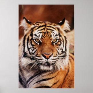 Sumatran Tiger, Panthera tigris Poster