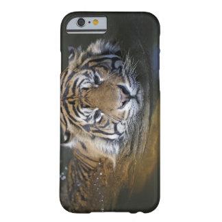 Sumatran tiger, Panthera tigris sumatrae Barely There iPhone 6 Case