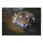 Sumatran tiger, Panthera tigris sumatrae Card