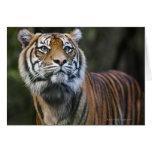 Sumatran Tiger (Panthera tigris sumatrae) Greeting Card